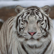 A calm white bengal tiger among snow. — Stock Photo