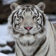Fresh look at the world of a young white bengal tiger. — Stock Photo