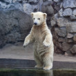 Stock Photo: First meeting with water of polar bear baby