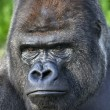 Menacing look of silverback, gorilladult male. — Stock Photo #29605589