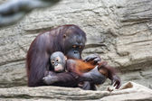 Lovely grooming of a careful orangutan mother — Stock Photo