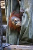 Saklambaç bir orangutan Baby Canvas — Stok fotoğraf