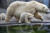 Un regard inhabituel sur le monde d'un bébé ours polaire — Photo
