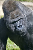 Side look of a silverback. Gorilla male observes his domain. — Stock Photo