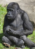 Hard thoughts of gorilla boy. An example of man expression by anthropoid apes. — Stock Photo