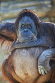 Inviting look of an orangutan female — Stock Photo