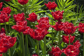 Een flowerbed van shaggy rode tulpen — Stockfoto