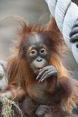 Surprising of an orangutan baby, degusting the world. — Stock Photo