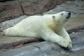 A young polar bear, lying on his belly. — Stock Photo