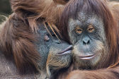 Wild tenderness among orangutan. Mother's kissing her adult daughter. — Stock Photo