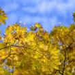 Beautiful natural autumn background with leaves of Maple tree on blue sky. — Foto Stock #37501845