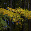 Brunch of Maple tree with yellow leaves on dark natural background. — Foto Stock #37501861