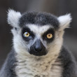 Постер, плакат: Eye to eye contact with a ring tailed lemur Madagascar cat