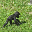 A full length portrait of a young gorilla male, walking on the grass. — Stock Photo