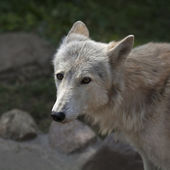 Stare of a molting polar wolf female. — Stock Photo