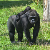 A sunlit gorilla female with her baby on her back. — Stock Photo