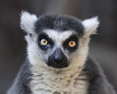 Eye to eye contact with a ring-tailed lemur, Madagascar cat. — Stock Photo