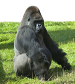 A gorilla male, severe silverback, the chief of a monkey family. — Stock Photo