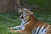 Eine gähnende sibirische tiger weiblich, liegend auf grünem gras und felsigen hintergrund. — Stockfoto