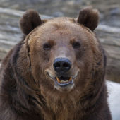 Closeup portrait of a brown bear with open chaps. — Stock Photo