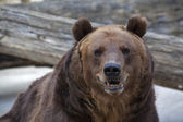 Sneer grimace on the face of a brown bear female. — Stock Photo