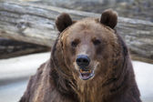 A brown bear female with open chaps. — Stock Photo