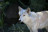Side portrait of a polar wolf female with yellow eyes on dark background. — Foto Stock