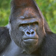 Closeup portrait of a gorilla male, severe silverback, on rock background. — Stock Photo