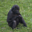 A side portrait of a young gorilla male, sitting on the grass. — Stock Photo