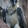 Stock Photo: Portrait of a severe bearded vulture, Gypaetus barbatus, on rocky background.