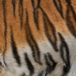 Colorful texture of Siberian tigress with orange, black and white stripes. — Stock Photo