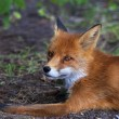 Stock Photo: Face portrait of red fox male, lying on ground.