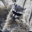 Stock Photo: Funny face of raccoon. Curious look of washing bear.
