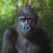 An eye to eye portrait of a young gorilla male on green background. — Stock Photo