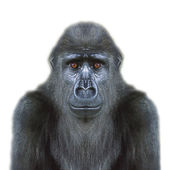 An eye to eye portrait of a young gorilla male, isolated on white background. — Stock Photo