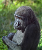 Side face portrait of a young gorilla male on green background. — Stock Photo
