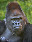 Closeup portrait of a gorilla male, severe silverback, on rock background. — Stock Photo