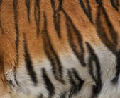 Colorful texture of Siberian tigress with orange, black and white stripes. — Stockfoto