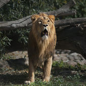 Prowling Asian lion with open chaps is coming out of the forest. — Stok fotoğraf