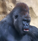 A gorilla male, silverback, leader of monkey family, eating grass. — Stock Photo
