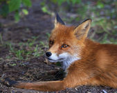 Face portrait of a red fox male, lying on the ground. — Stock Photo