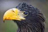 Closeup portrait of a Steller's sea-eagle (Haliaeetus pelagicus) after eating. — Stock Photo