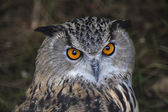 The head of a screech owl. Stare of a long-eared owl, very skilled raptor. — Stock Photo