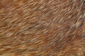 Macro shot of red fox fur. — Stock Photo