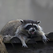 A lying raccoon with spread fingers and protruding pink tongue. — Stock Photo