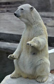 A polar bear female, sitting up straight with lifted forepaws. — Stock Photo
