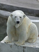 The head of a polar bear female, lovely mother, looking straight into the camera. — Stock Photo