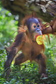 Full-size portrait of an orangutan baby with apple in its mouth. — Stock Photo
