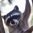 Stock Photo: Funny portrait of raccoon with open chaps on tree.