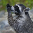 Stock Photo: Side face macro portrait of begging raccoon.